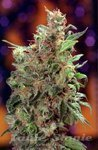 SEEDSMAN - California Orange