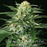 EXOTIC SEED - Gipsy Widow