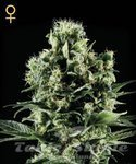 GREEN HOUSE SEEDS - Himalaya Gold