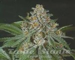 GREEN DEVIL GENETICS - Doja Bubba Berry