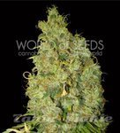 WORLD OF SEEDS - Northern Light X Skunk