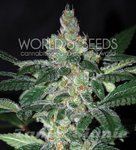 WORLD OF SEEDS - Amnesia