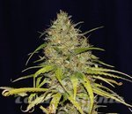 SEEDSMAN - Power Africa x MK Ultra Fast
