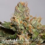 HUMBOLDT SEED - 707 Truthband by Emerald Mountain