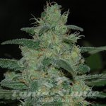 Original Sensible Seeds - Pure Kush