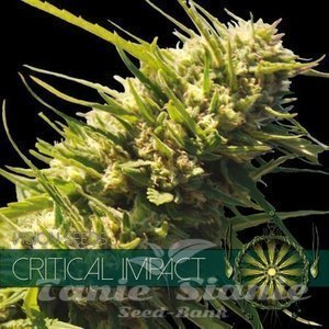 Vision Seeds -Critical Impact