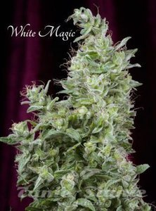 MANDALA SEEDS - White Magic