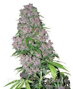 WHITE LABEL - Purple Bud