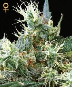 GREEN HOUSE SEEDS - Auto Northern Light