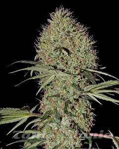 GREEN HOUSE SEEDS - Super Bud Autoflowering