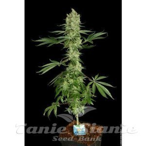 paradise_seeds_ice-cream_2_1.jpg